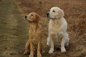 golden-retriever-379226_1280