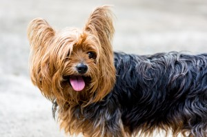 yorkshire-terrier-361704_1280