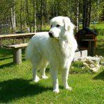 Förderung von Herdenschutzhunden nun auch in Sachsen-Anhalt