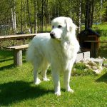 Herdenschutzhunde und deren Förderung in Sachsen-Anhalt - es wird konkret